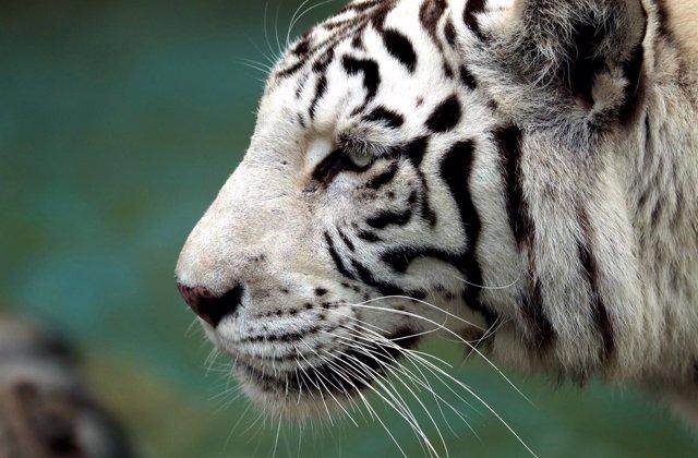 Un tigre blanco en el zoológico de Lima (Perú)