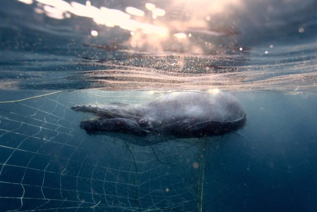 Cría de yubarta o ballena jorobada atrapada en Australia