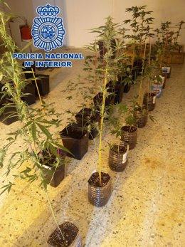 Plantación de marihuana incautada en el barrio de La Isleta