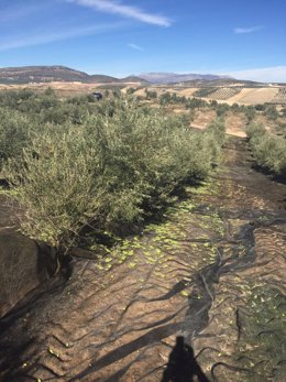 Un olivar de Jaén