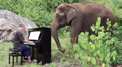 Un pianista jubilado toca el piano para elefantes viejos, discapacitados o que han sido torturados