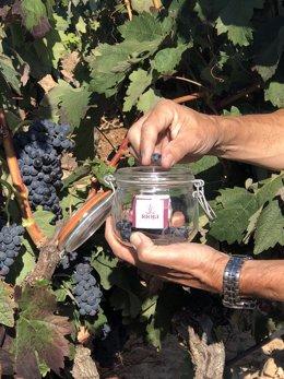 Control maduración del viñedo