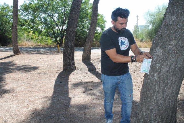 Barbado inyecta la vacuna a un pino