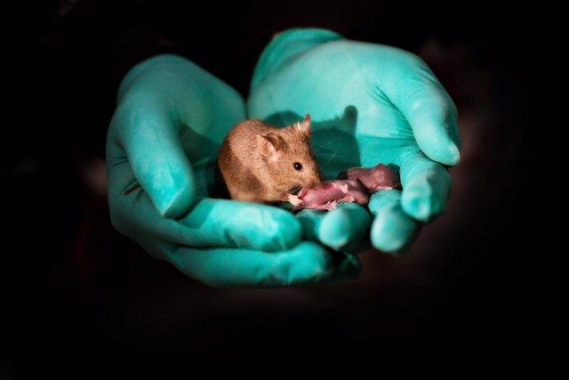 Un ratón nacido de dos madres adulto sano con su propia descendencia