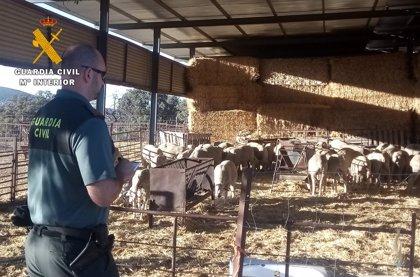 Dos detenidos en Hinojosa del Duque por el robo continuado de ganado ovino de una explotación