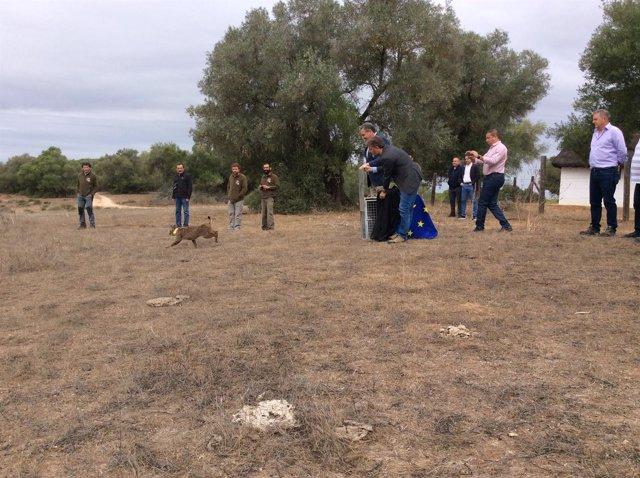 Suelta de un lince ibérico en Doñana