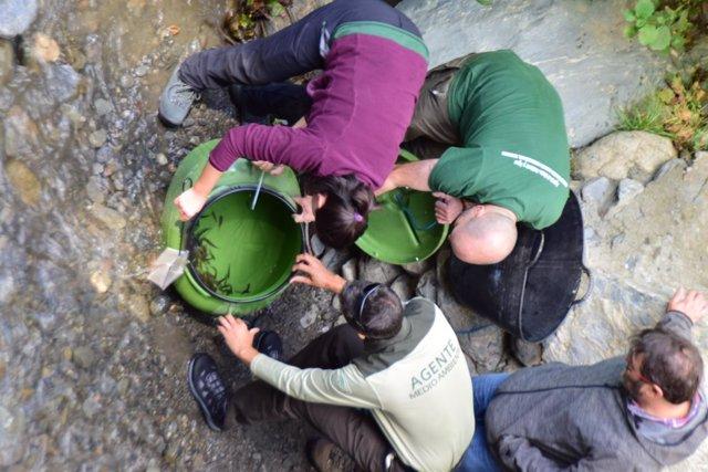 Liberados 2.000 alevines de trucha común en el río Poqueira