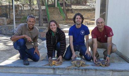 Liberadas tres tortugas bobas que fueron encontradas enredadas en sedales y plásticos de La Manga y Cabo de Palos