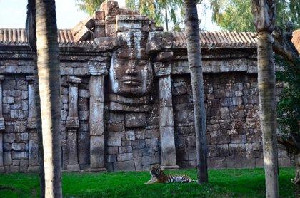 Bioparc Fuengirola recibe a una tigresa de Sumatra