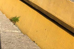 La marihuana crece en Uruguay en los lugares más curiosos, como entre el cemento del estadio del Peñarol