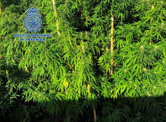 Plantación de marihuana incautada en Córdoba