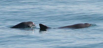 La vaquita marina no está extinta
