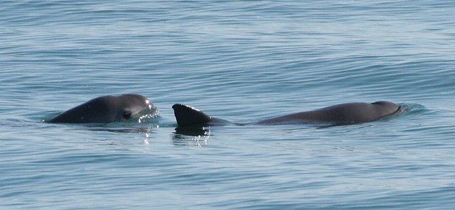 Avistamiento de vaquitas marinas
