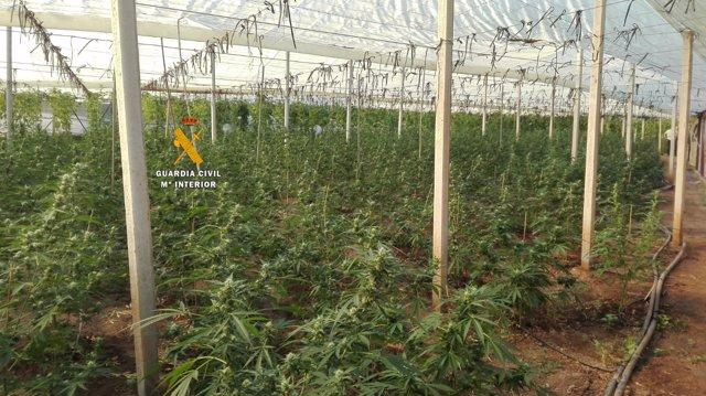 Marihuana plantas droga plantación indoor invernadero bajo techo guardia civil