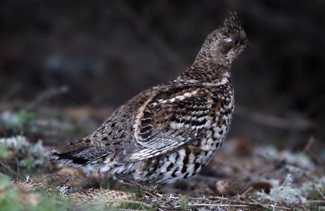 Grévol,un ave extinta en España que se reintroducirá en Pirineos