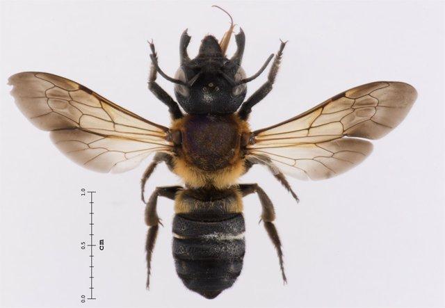 La abeja gigante resina encontrada en Catalunya
