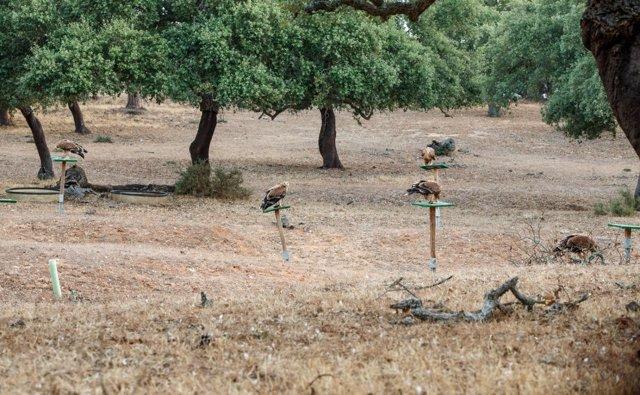 Población de águila imperial