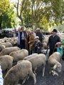 Más de 1500 ovejas y 100 cabras recorren Madrid en el 25 aniversario de la Fiesta de la Transhumancia