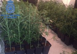 Detinguda una banda que conreava marihuana 'indoor' per exportar a països europeus (POLICÍA NACIONAL)