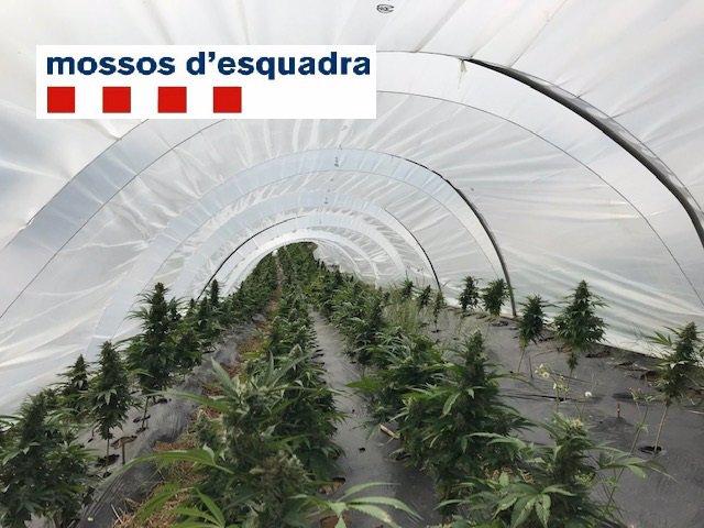 Plantació de marihuana trobada per Mossos a Sant Cebrià de Vallalta
