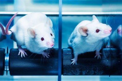 Hallan cómo revertir la pérdida de memoria en ratones viejos