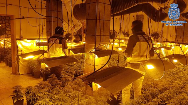 Cultivo de marihuana en Talavera