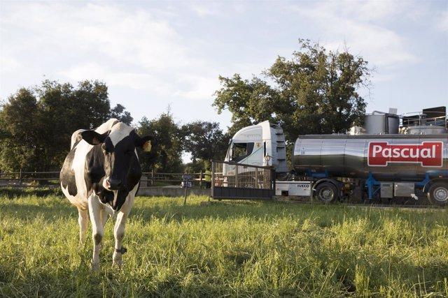 Vacas y Calidad Pascual
