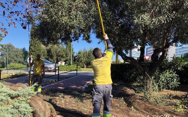Vareo de olivas