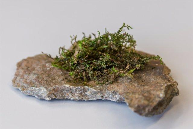 Liverwort (Radula perrottetii)