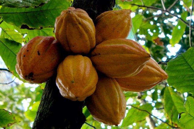 Cacao Theobroma