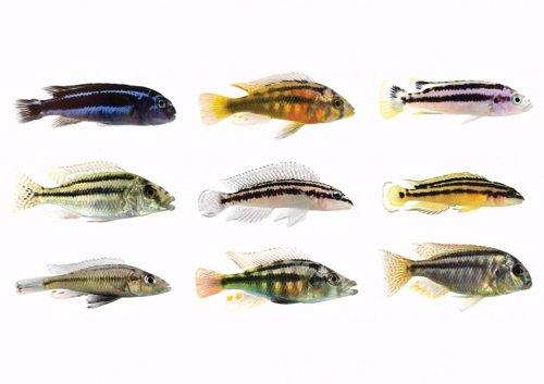 Peces con bandas de colores ilustran la repetición de procesos evolutivos