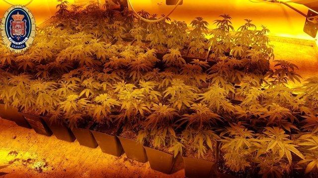 Plantas de marihuana incautadas en la zona norte de la capital