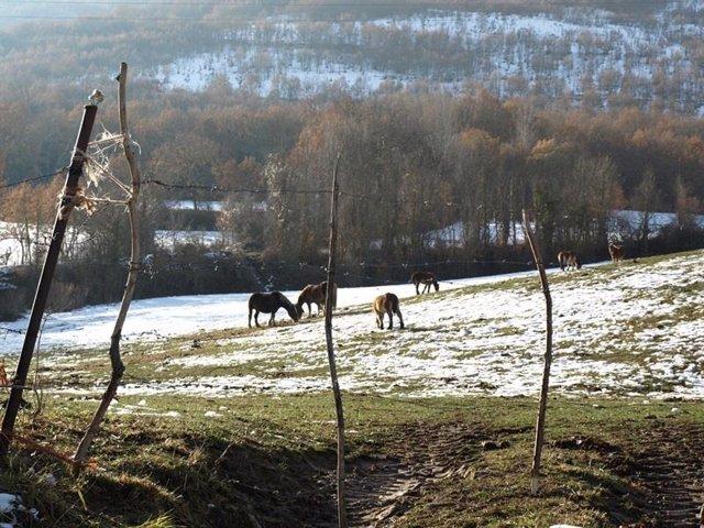 Ganado en pradera con nieve en Cantabria, ganado, nieve