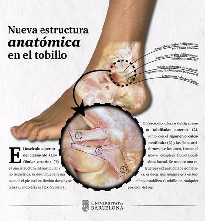 El tobillo tiene un 'nuevo' ligamento (y ha sido descrito por investigadores españoles)
