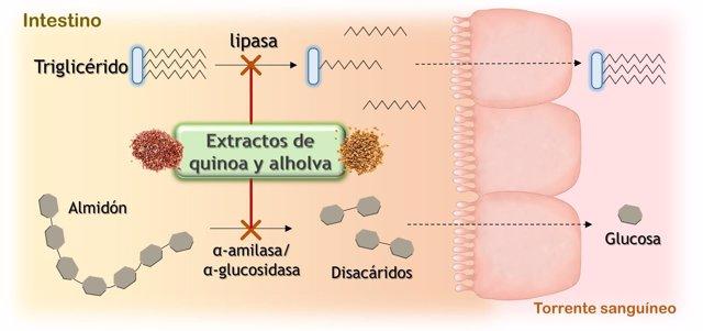 Extractos de quinoa y alholva pueden bloquear la digestión de grasas