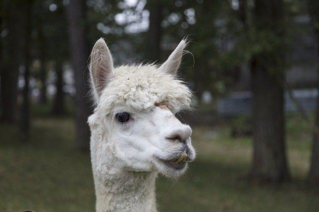 Llama, alpaca