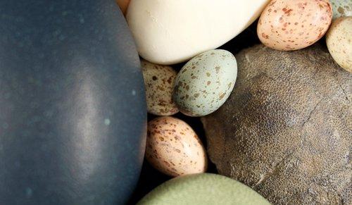 Comparación de huevos de aves y de dinosaurios