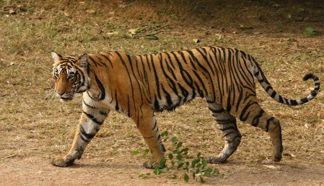 Una tigresa en India