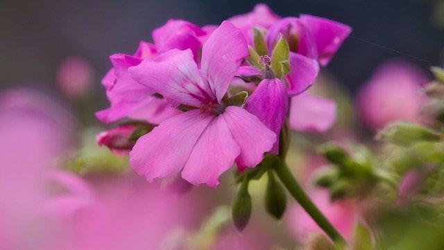 Geranio rosa, flor