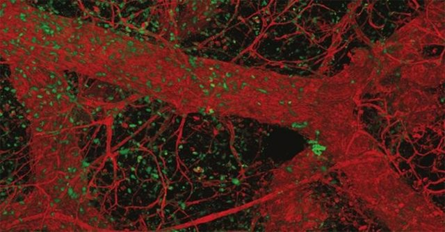 Gen responsable de avivar las células madre mamarias en la pubertad