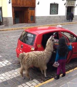Alpaca sube a un taxi en Cuzco