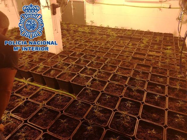 Plantas interiores de marihuana intervenidas