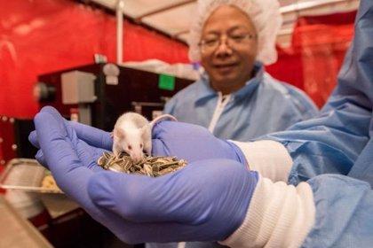 Consiguen con un trasplante celular restaurar la visión en ratas