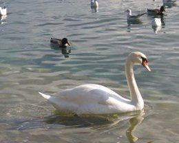 Ave, gripe aviar, cisne, pato