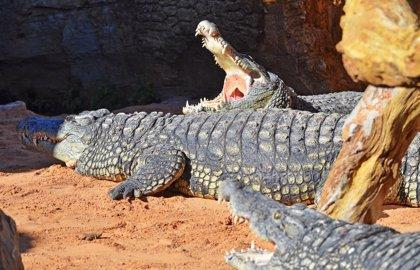 Bioparc recibe tres cocodrilos del Nilo