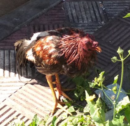 Veracruz, primer estado mexicano en prohibir las peleas de gallos