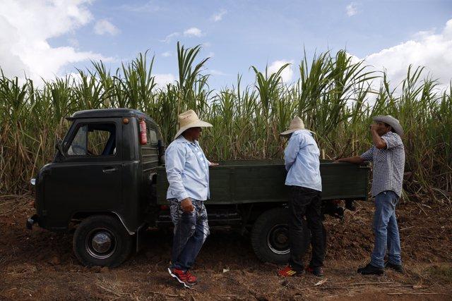 Cosecha de azúcar en Cuba