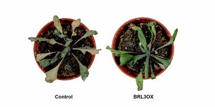 Descubren cómo generar plantas más resistentes a la sequía sin perjuicio de su crecimiento