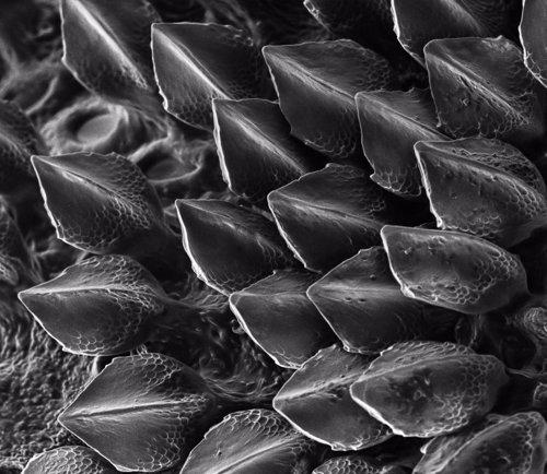 Escamas de tiburón