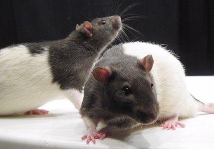 Las ratas, como los humanos, olvidan los recuerdos que les distraen